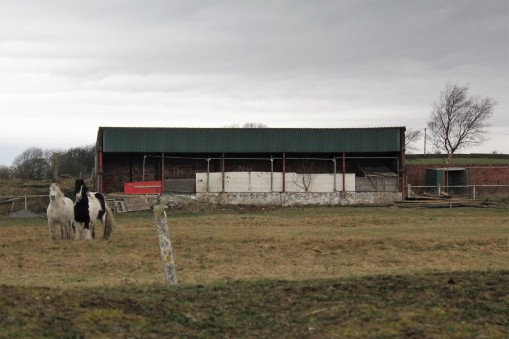 Horses grazing at Stanley Utd's Hilltop Ground in 2019.